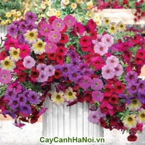 Hoa dạ yến thảo